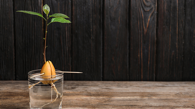 avocado pit in water sprouting a green plant